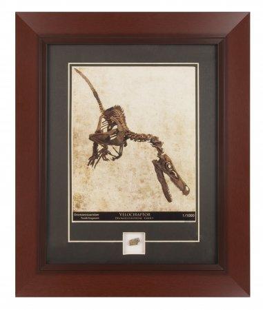 Velociraptor Print with Dromaeosaur Tooth Fragment