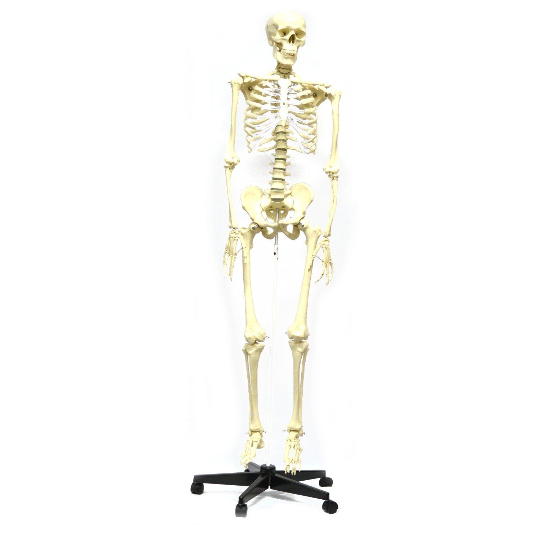 Articulated Human Skeleton Model - ScientificsOnline.com